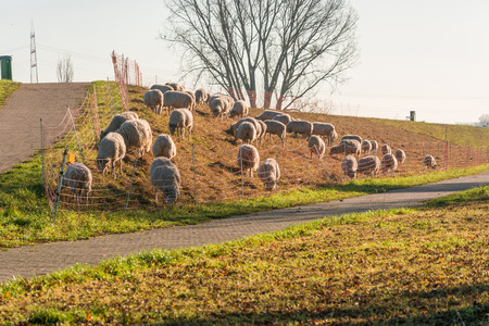 Herd of sheep grazing on a dike with green grass on the banks of the Rhine near Zons, Germany.
