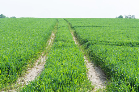 Tractor tracks through a green agricultural field