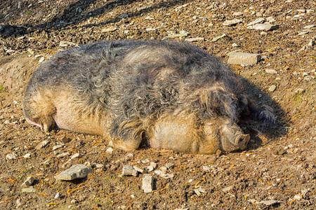 Wild boar in the mud in the warm summer sun lying. Stock Photo
