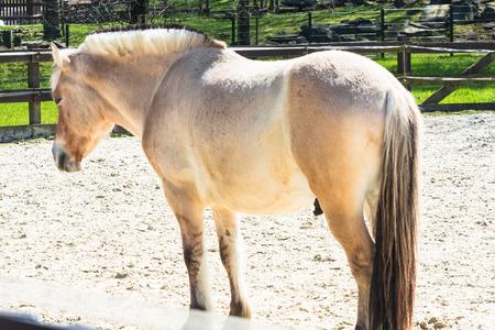 Small white horse, pony a paddock.