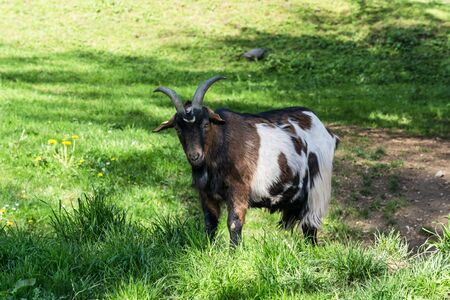 Brown goat on a meadow at pasture. Reklamní fotografie