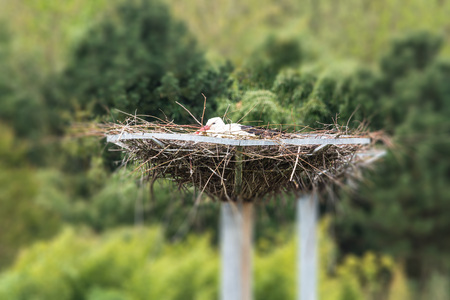 Adult stork sits on his nest.