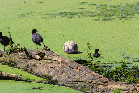 Ducks and a soccer ball in a pond with duckweed or waterlins.