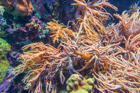 aquarist: Underwater shot, fish in an aquarium with coral and sea anemone.