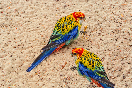 A colorful parakeet is called the platypus or Rosella.