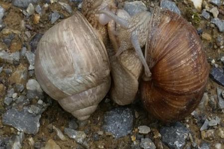 연애 중 두 개의 포도 나무 달팽이