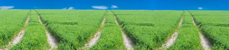 agrarian: Three tractor tracks through a green agricultural field in spring, Scenics.
