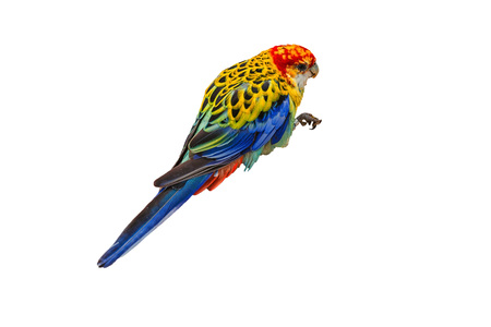 White-breasted parakeet or also called Rosella against white background. Stock Photo