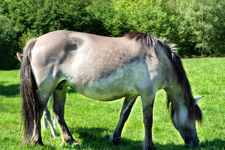 domestication: Wild horses in Neandertal. Tarpan is a Eurasian wild horse obtained by re-breeding.