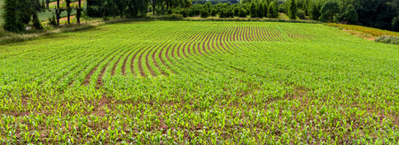 Panoramic view, rows of corn seedlings on a field Stock Photo