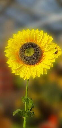 Flower of sunflower isolated on white background. 스톡 콘텐츠