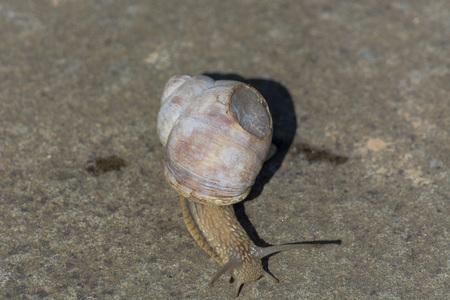 Roman snail - Helix pomatia. Helix pomatia, common names of the Romans, Burgundians, slug with injured casings