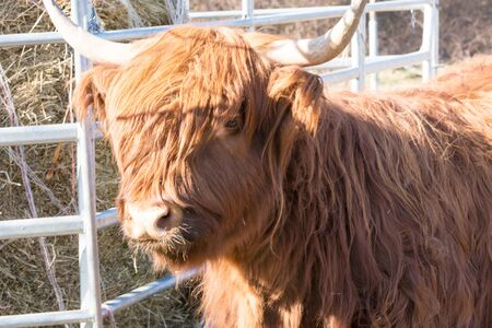 Portrait of a red scottish highland cattle, sticking out his tongue, cow with long wavy hair and long horns Stock fotó