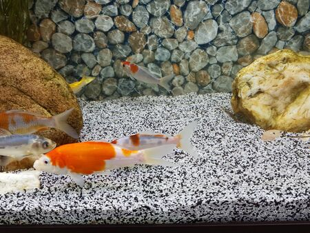Goldfish swim in a beautiful house aquarium. Aquarium floor and background of pebbles