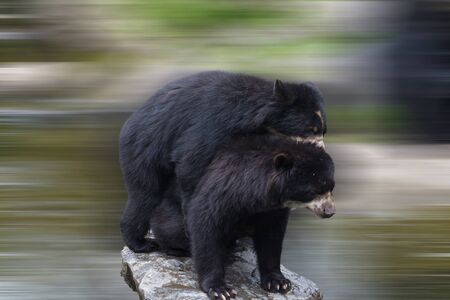 Two beautiful bears hug each other and play together