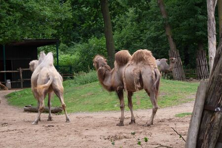 African camels graze
