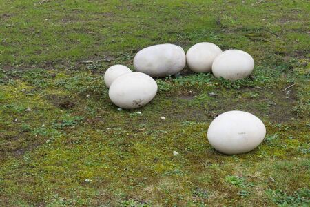 Old fossil stone eggs with cracks isolated on a green meadow Reklamní fotografie