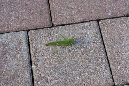 The great green bush-cricket (Tettigonia viridissima) is a large species of katydid or bush-cricket belonging to the family Tettigoniidae