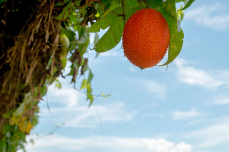 Ripe Gac fruit with cloud background.