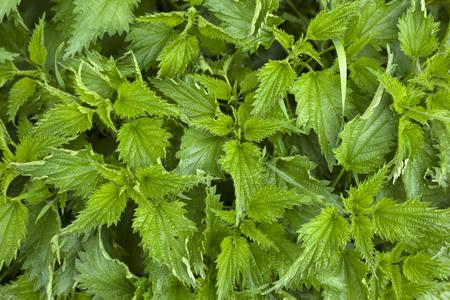 texture nettle plant
