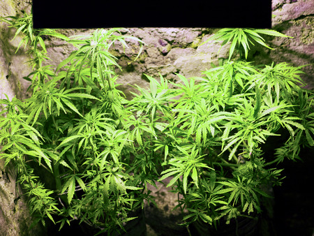 growing young cannabis plant flowers, buds with white sigmas, marijuana inflorescences close-up