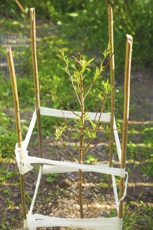 small peach tree seedlings with a fence close-up