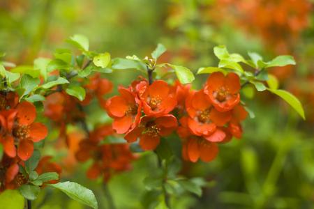 jeunes inflorescences rouges de fond de buisson de coing ornemental japonais Banque d'images