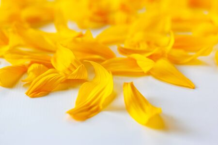 yellow sunflower petals on a white background with a beautiful bokeh close-up