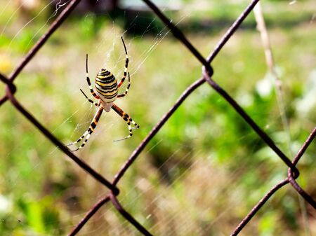 a wasp-like spider sitting on a grid close-up Фото со стока - 129323903