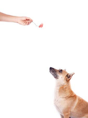 dog training by dog handler on a white background. pet with hand isolate Banco de Imagens