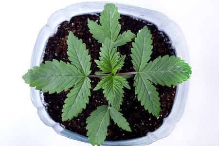 Young medicinal marijuana plant in a pot with earthen soil  and green leaves on white background,indoor grow cannabis top view. Stok Fotoğraf