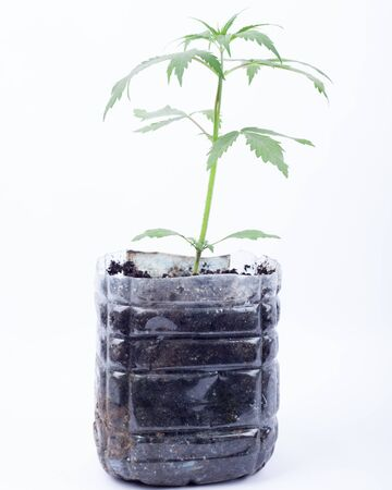 Young medicinal marijuana plant in a pot with earthen soil  and green leaves on white background,indoor grow cannabis.