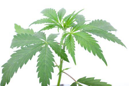 green marijuana plant on a white background.