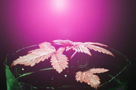 growing marijuana under purple LED light.