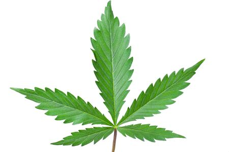 green leaf of cannabis on a white background close up