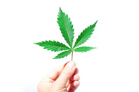 green leaf of marijuana in hand on a white background.hand holds medical cannabis.