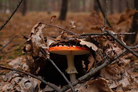 amanita ,red fly agaric breaks through autumn leaves,hallucinogenic mushroom containing muscarin poison.