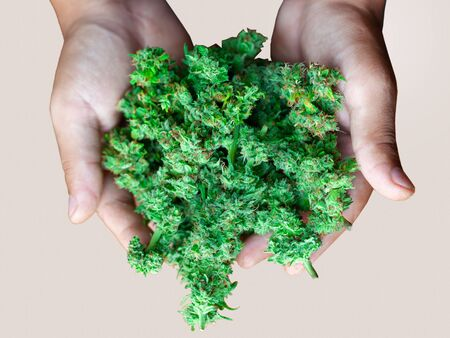 man holds fresh cannabis bud in palms,concept medical marijuana as a gift of nature.