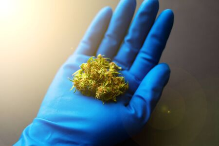 medical cannabis bud in hand.therapeutic marijuana in the hands of a doctor with blue gloves. Stock Photo