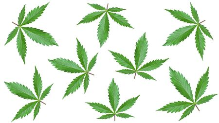 marijuana print  for promotional items. narcotic background of green cannabis leaves isolated on white background. Stock Photo