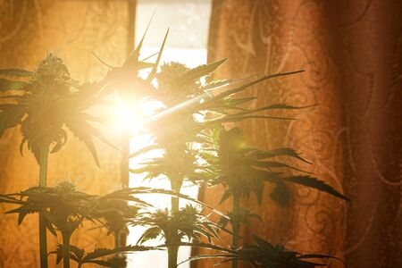 blooming cannabis buds bask in the sun, concept medical marijuana in the rays of warm light. 版權商用圖片