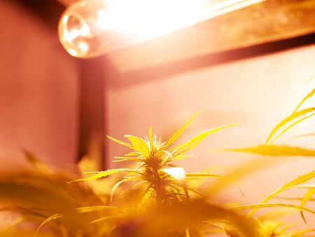 growing medical marijuana buds under artificial lighting in a grow box. yellow spectrum lamp for cannabis cultivation.