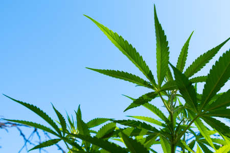 green cannabis leaves on blue sky background copy space.