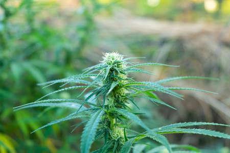 green plant young medical marijuana growing outdoors close up. 免版税图像
