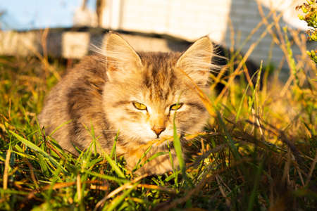 small tabby gray kitten basking in the sun close-up. 免版税图像