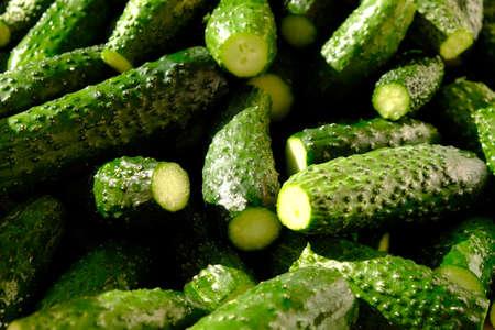 fresh green cucumbers in hard light, gherkins background close-up.