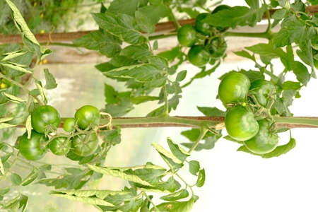 unripe green tomatoes on a branch in a greenhouse close-up, natural products. 免版税图像