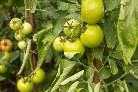 organic food, unripe green tomatoes on the branches, tomato seedlings growing in a greenhouse close-up.
