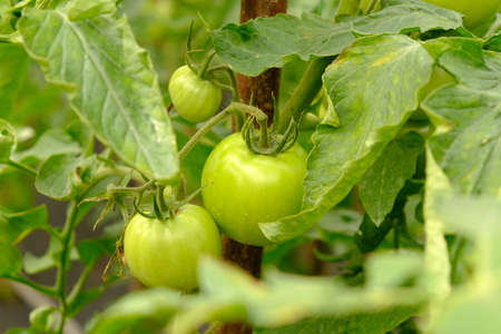 branch with green fruits of tomato in a greenhouse close-up, organic farming.