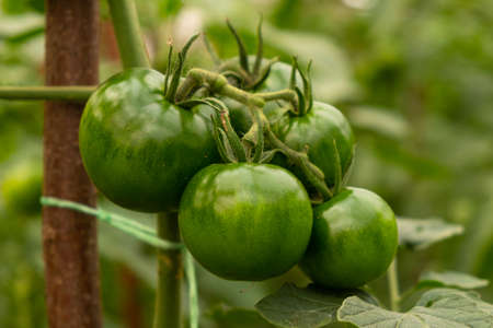 green fruits of tomatoes on a branch in a greenhouse close-up, organic crop. 免版税图像